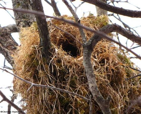 Do When You Build A Nest by Squirrel Nest Much Like A Birds Nest But For Mammals