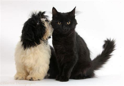 shih tzu white and black pets black and white shih tzu pup and black kitten photo wp40302