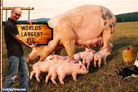 worlds largest worlds largest pig pictures freaking news
