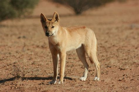 dingo dogs dingo history personality appearance health and pictures