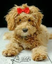 doodle hair bow 1000 ideas about labradoodle puppies on