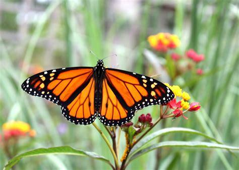 imagenes mariposas naturaleza fotos gratis naturaleza pradera flor verano fauna
