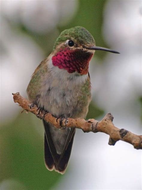 mating habits of hummingbirds best 25 ruby throated hummingbird ideas on humming image hummingbird and humming birds