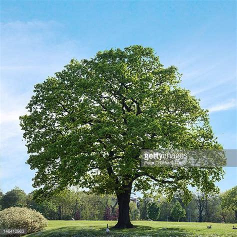 tree photos oak tree stock photos and pictures getty images