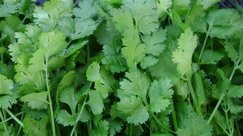 Kitchen Herb by Top 15 Health Benefits Of Coriander Herb