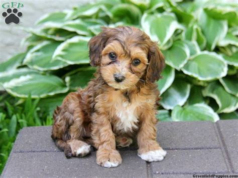 cavapoo puppies for sale in pa 17 best images about my future on poodles puppys and cavapoo puppies