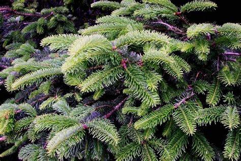 abeti da giardino l abete alberi conifere l abete conifere