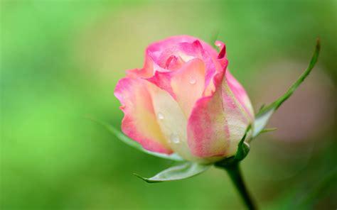 Wallpaper Rose Flower Beauty | nature pink beauty flower beautiful rose wallpaper
