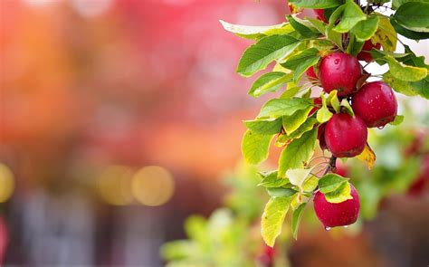 wallpaper of apple tree apple tree wallpapers images photos pictures backgrounds