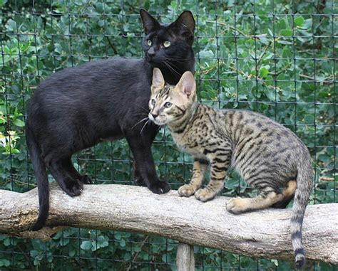 black savannah cat melanistic and traditional black spotted savannah cat yelp
