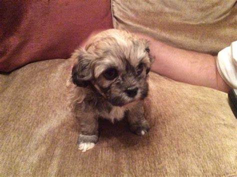 shih tzu x bichon puppies search results for shih tzu puppies for sale black