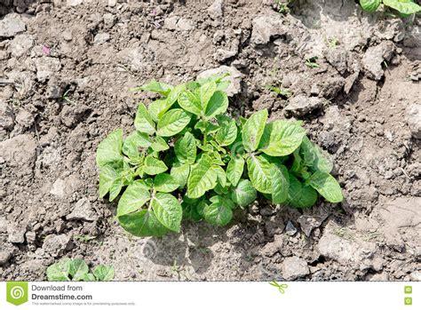 field of green potato bushes growing potatoes stock