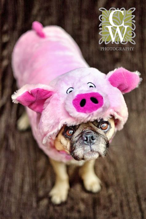 pig the pug costume ideas 17 best images about costumes on costumes for dogs costumes