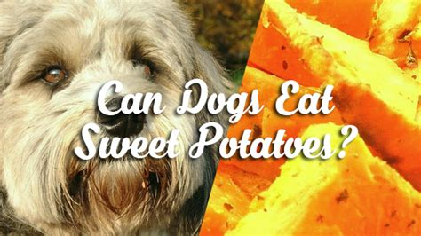 can dogs eat sweet potatoes can dogs eat sweet potatoes pet consider