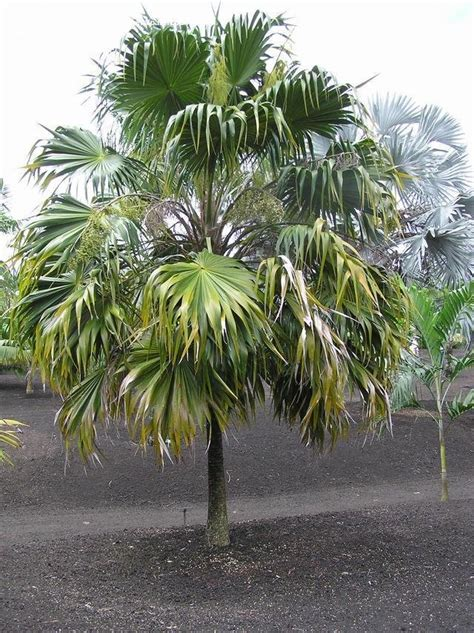 pin home palm thatch reed palapa on