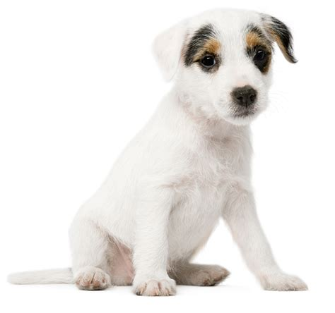 june 2012 dogs wallpapers backgrounds dog white background www pixshark com images galleries