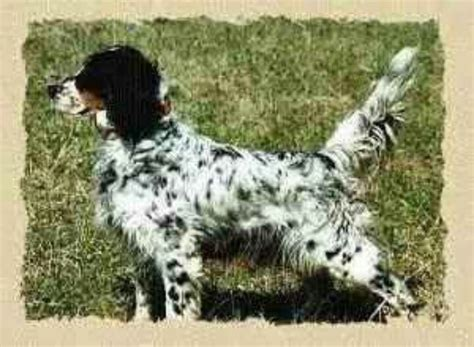 llewellin setter dog size 21 best llewellin setters images on pinterest english