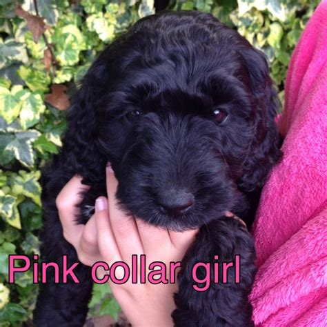 cockapoo puppies price f1 cockapoo puppies price reduced because last one rochester kent pets4homes