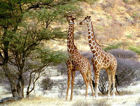 imagenes reales de jirafas fotos de jirafas para imprimir manualidades para ni 241 os