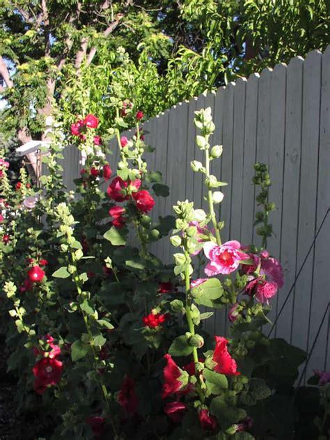 grow hollyhock alcea flowers gardening channel