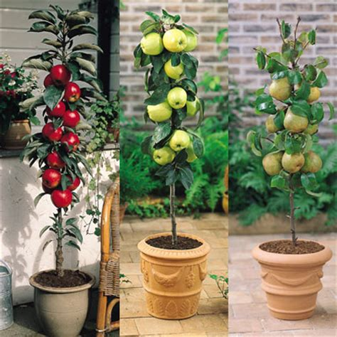 Patio Fruit Plants by Email Friend Miniature Patio Fruit Trees Daily Express