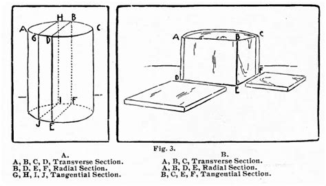 tangential section holz als material botanisches und forstwirtschaftliches