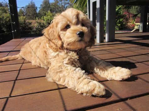 spoodle puppies img 4428 171 spoodle puppies australia