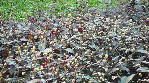 You Ve Garden Flower Bra Purple calico plant flickr photo