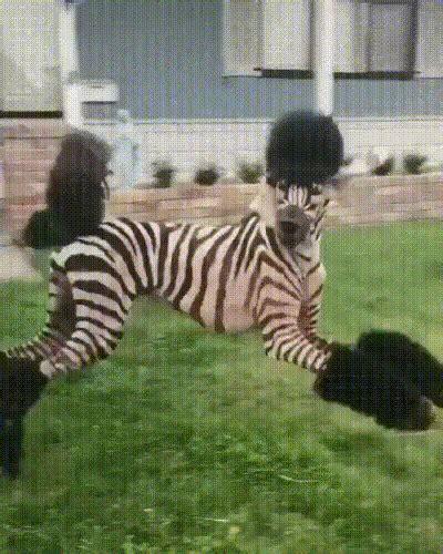 zebra poodle atbge