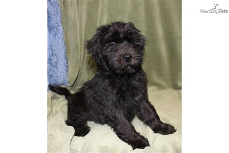 wheaten puppies for sale wheaten terrier poodle mix