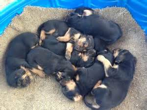bloodhound puppies for sale in tn bloodhound puppies for sale akc registered black and for sale