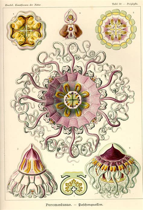 the and science of ernst haeckel multilingual edition books ernst haeckel kunstformen der natur tafel 38