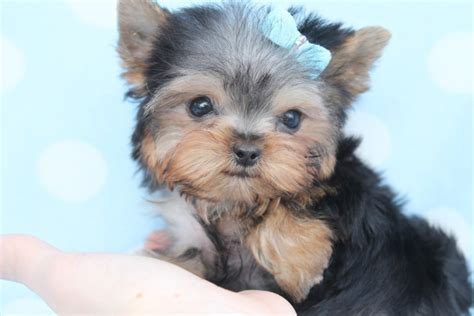 how many types of yorkies are there awesome teacup breeds breeds puppies treatment of teacup breeds