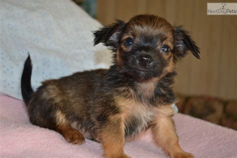 corkie puppies for sale corkie chihuahua puppy for sale near springfield missouri ac0df59d 6d71