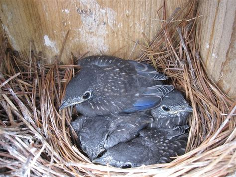 eastern bluebird nest birds pinterest