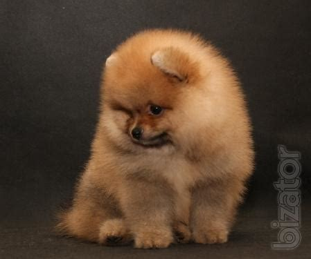 colors of pomeranians pomeranian miniature spitz different colors buy on www