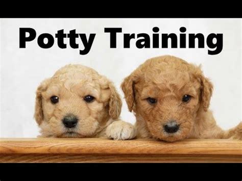 goldendoodle puppy potty island grove doodles goldendoodle puppies funnydog tv