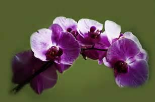 Purple orchid free stock photo public domain pictures