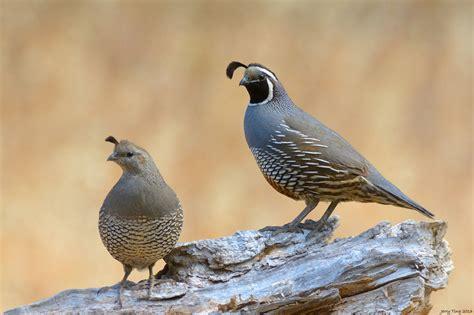 california quail friends of edgewood