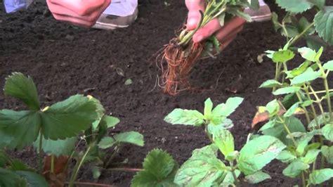 wie pflanze ich erdbeeren 4145 erdbeeren pflanzen