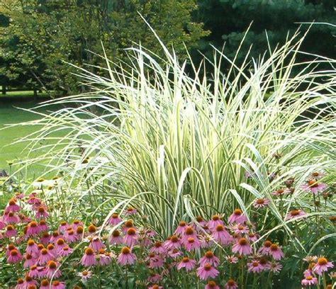 Farmhouse Modern Variegated Maiden Grass Plants In My Garden Pinterest