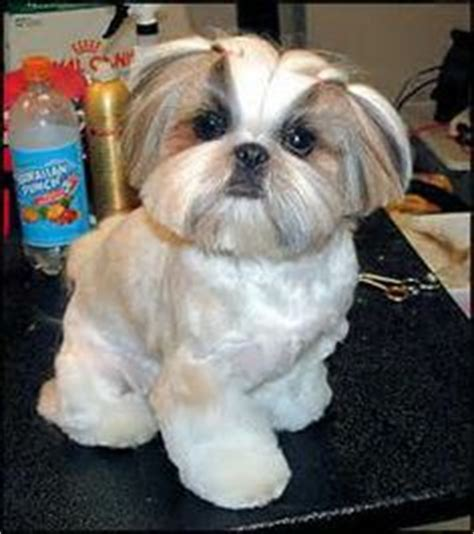 good grooming proper hairstyles shih tzu puppy after grooming teddy bear trim puppy cut