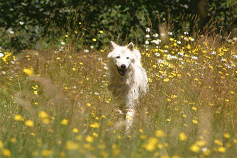 Seven White Wolves america wolves the wolves of white wolf sanctuary