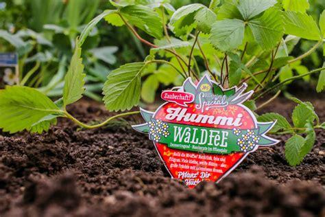 Wann Pflanze Ich Erdbeeren 4534 by Wann Erdbeeren Pflanzen Wann Erdbeeren Pflanzen With Wann