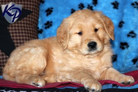 pa golden retriever breeders 1000 images about golden retriever puppies on
