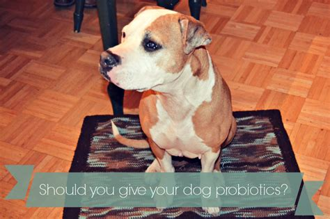 probiotics for puppies should you give your a probiotic supplement pawsitively pets