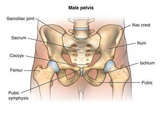 pubis location on men anatomy of the male and female pelvis providence washington