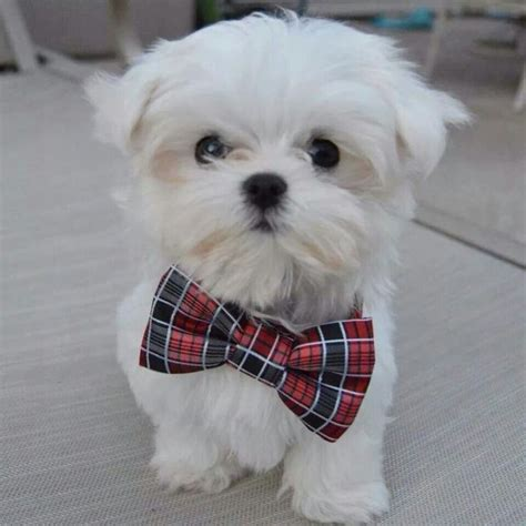 how to give my maltese yorky a haircut 345 best maltese puppies images on pinterest baby