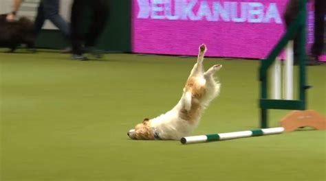bad agility crufts 2017 nosediving rescue steals the show on bad agility course run the