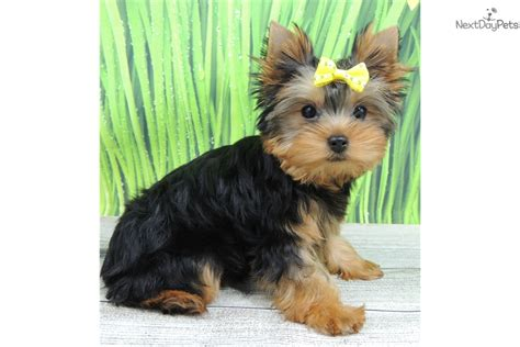 yorkie puppies in illinois terrier yorkie puppy for sale near chicago illinois 9022414d 1521